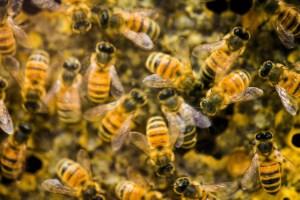 L'abeille:l'insecte le plus important dans la polinisation des plantes sur Terre.