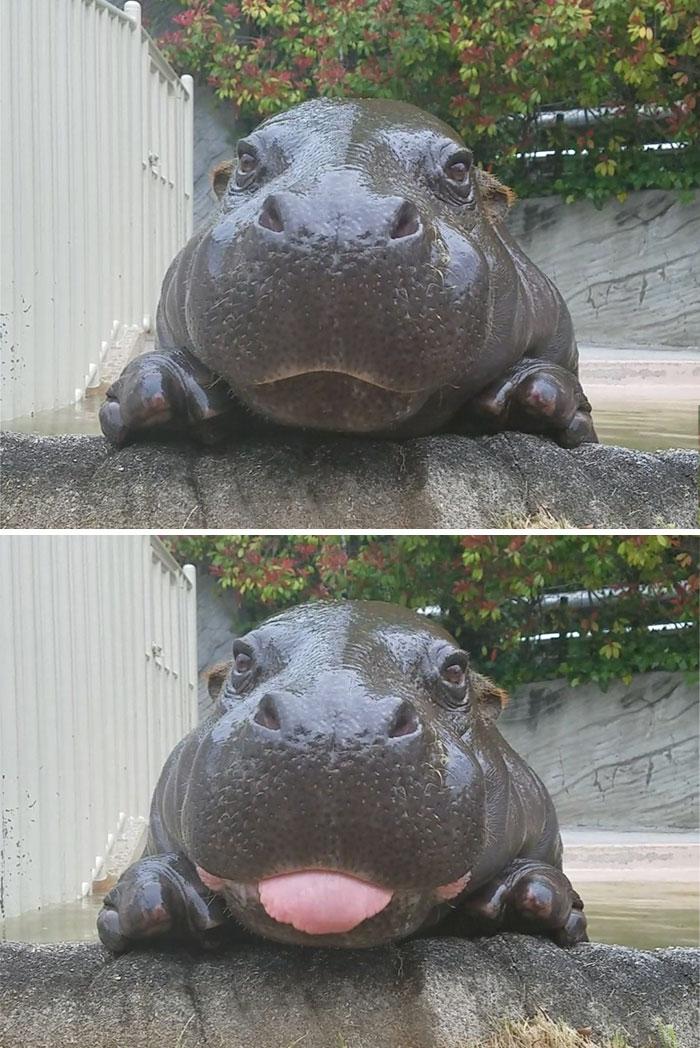 cute-baby-hippos-146-59087db487972__700.jpg